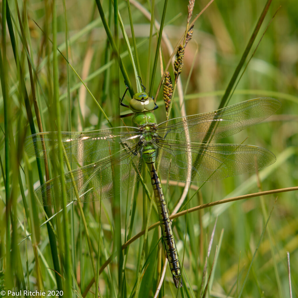 Emperor (Anax imperator) - immature male