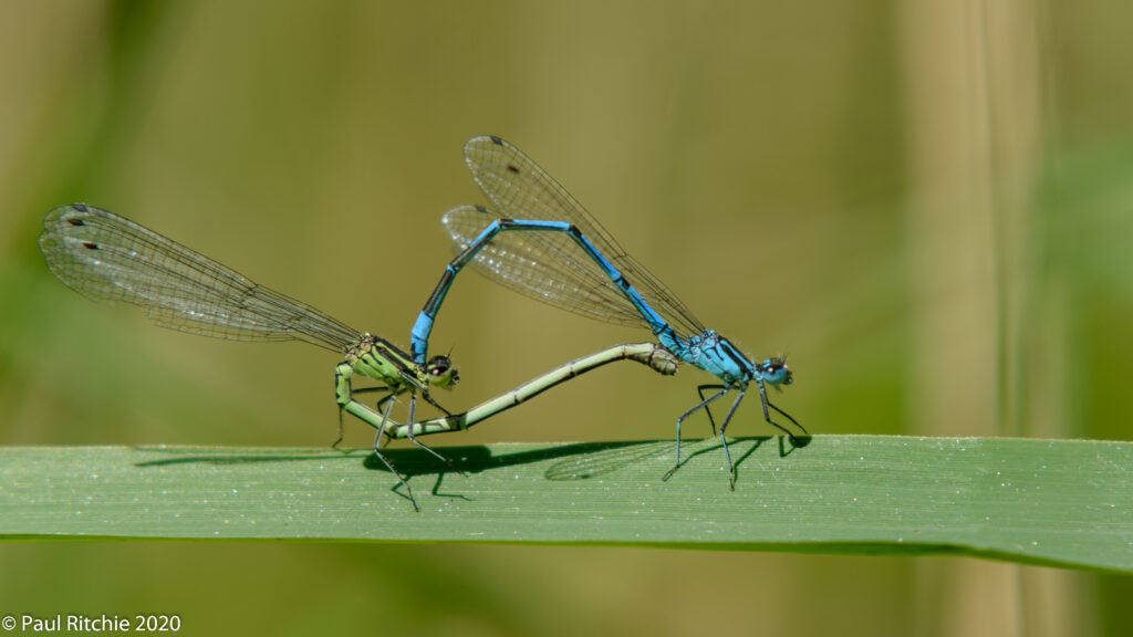 Azure Damselfly (Coenagrion puella) - pair in-cop
