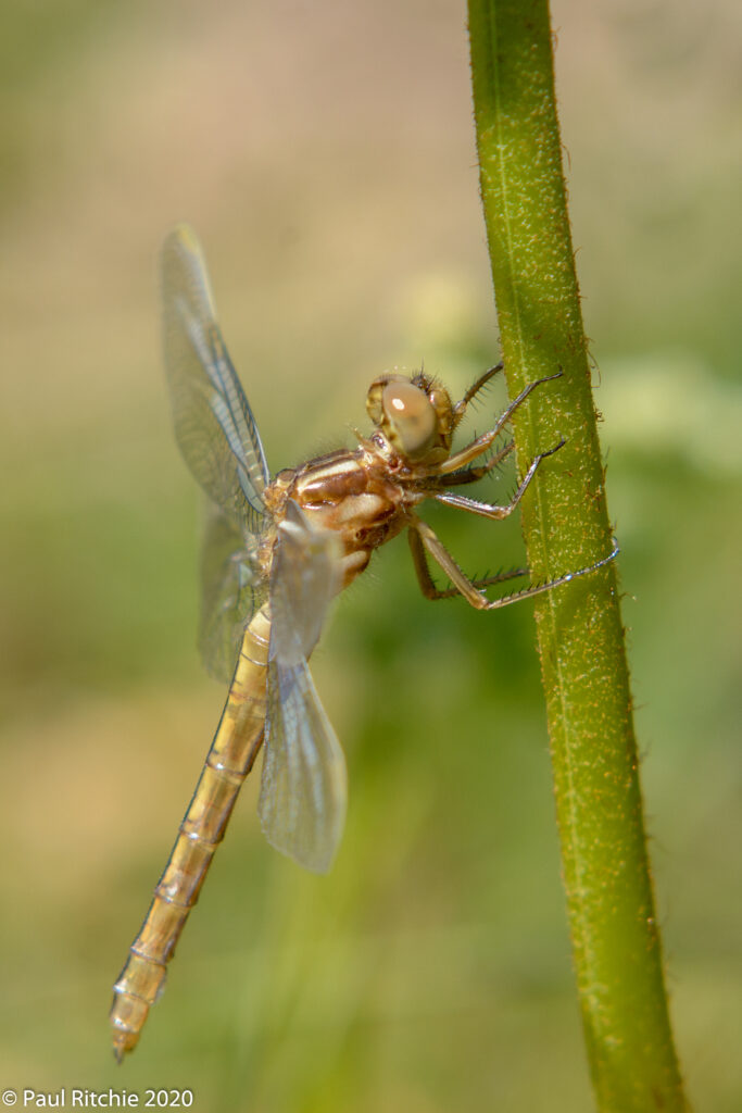 Keeled Skimmer (Orthetrum coerulescens)
