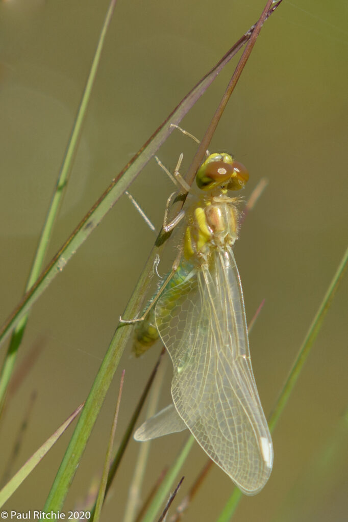 Black Darter (Sympetrum danae) - freshly emerged