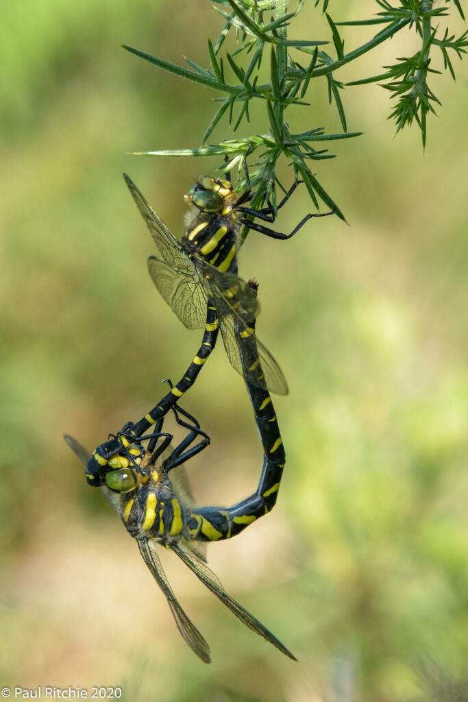 Golden-ringed Dragonfly (Cordulegaster boltonii) pair in-cop